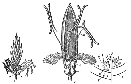 как называется семя у злаковых