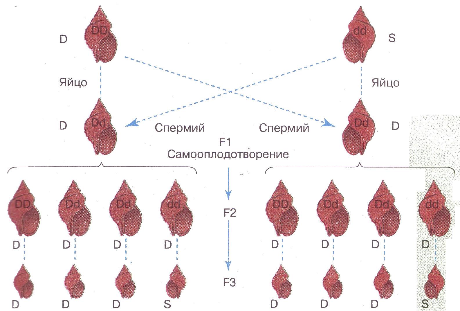 Наследственность цитоплазматическая