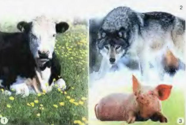 Питание животных организмов Природоведение Реферат доклад  Рис 24 Травоядное 1 плотоядное 2 и всеядное 3 животные