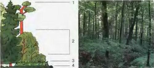 Из чего состоит экосистема леса Биология Реферат доклад  Рис 57 Ярусы леса 1 деревья 2 кустарники 3 травянистые растения 4 мхи и лишайники