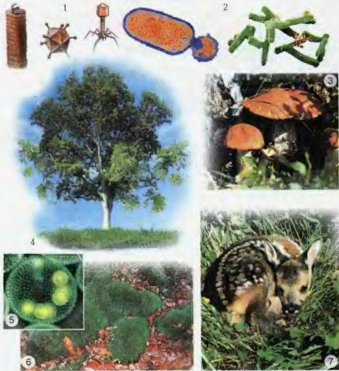 Царства живых организмов Микроорганизмы и грибы Природоведение  Представители различных царств 1 вирусы 2 бактерии 3 грибы 4 6 различные растения дерево водоросли мох 7 животное